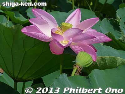 Mizunomori lotus
